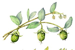Jojoba in watercolor