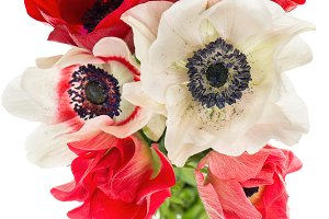 Red, white and pink anemone