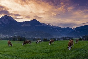 Alpine Cows Panorama 2