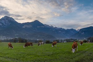 Alpine Cows Panorama
