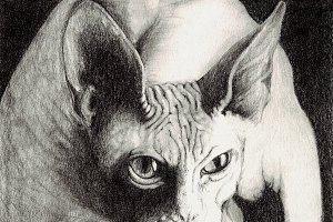 Cat sphynx in pencil