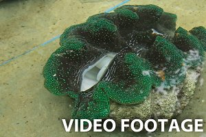 Farm giant clams,tridacna.