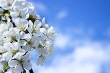 Spring white blossom of cherry tree