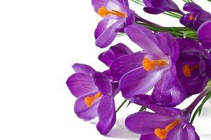 Spring bouquet of purple crocuses
