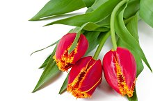 Spring bouquet of red tulips