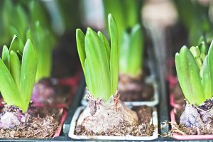 Sprouts of hyacinth