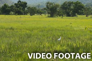 white egret bird in green field.