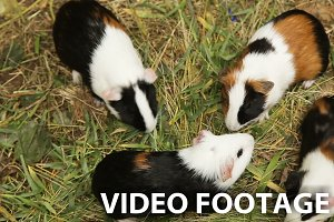 Guinea pigs eating grass.