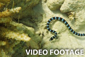 Banded Sea Snake in sea
