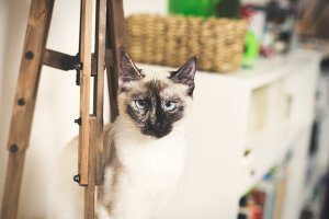 Serious siamese cat