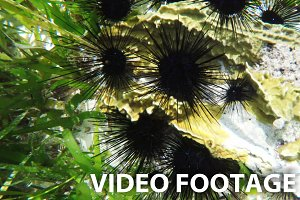 sea urchins on coral reef