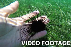 sea urchins on human hand