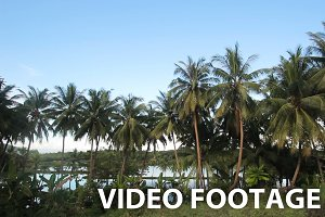 Coconut palm trees plantation