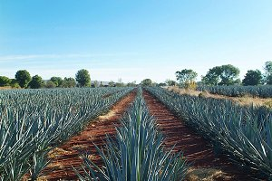 agave land