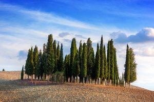 Cypress trees in Tuscany, Italy.