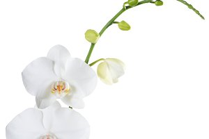 Orchid phalaenopsis white isolated