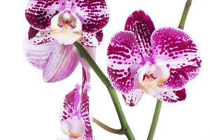 Orchid phalaenopsis isolated