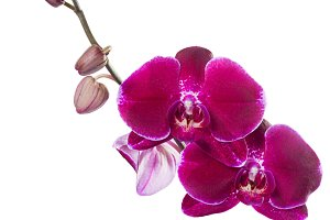 Orchid phalaenopsis red isolated