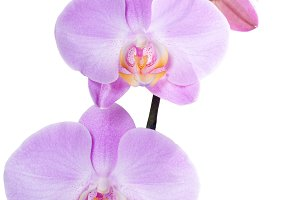 Orchid phalaenopsis pink isolated
