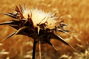 thistle and  weevil