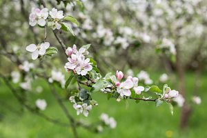 apple blossoms in spring on green