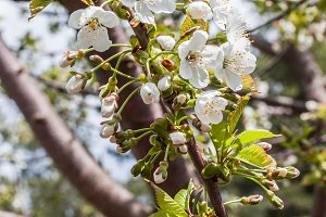 blooming branch of cherry in spring