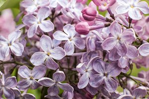 Macro image of spring lilac flowers