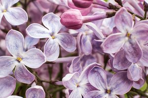 Macro image of spring lilac flowers
