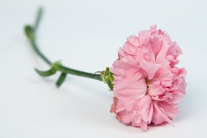 wilted carnation