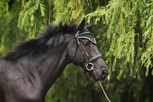 Black stallion portrait