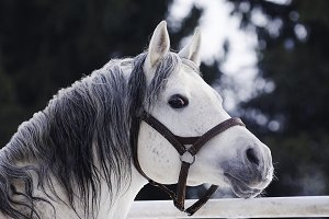 Grey Arabian stallion portrait