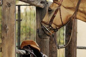 Palomino horse with equipment