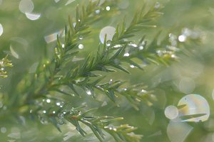 Water Drops on Evergreen