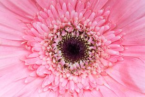 Pollen dark pink flower