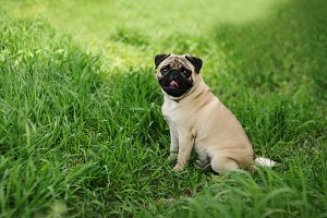 Pug sitting on the green grass