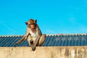 Monkey in village