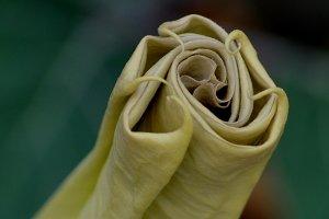 estramonium closed flower
