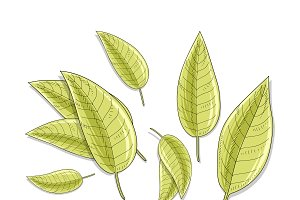 Bay leaves isolated in sketch. Spice