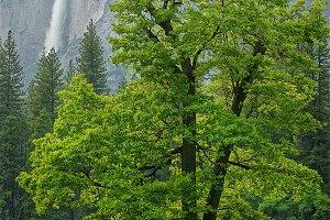 Idyllic Paradise 3, Yosemite Deer