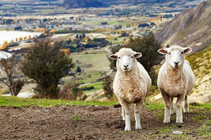 Grazing sheep, New Zealand