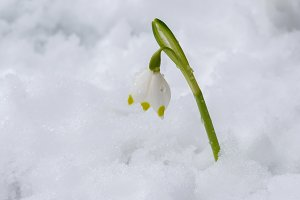 Spring snowflake in snow
