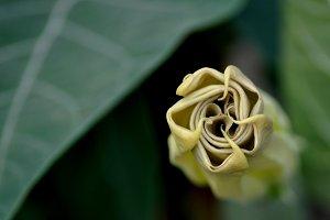 closed stramonium flower