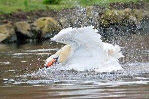Swan swimming.