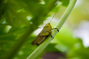 Grasshopper on a twig