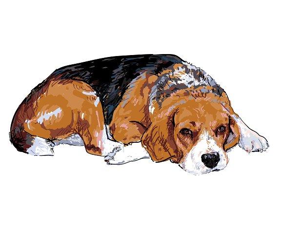 Beagle in Illustrations
