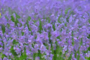 Lavender flowers oil paint
