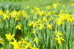 Daffodils picture oil paint