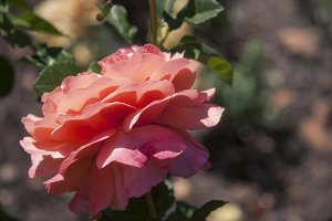 Pink Rose 1 (Photo)
