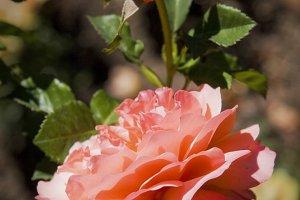 Pink Rose 2 (Photo)
