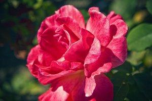 Magenta Rose (Photo)